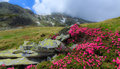 Pink rhododendron flowers in high mountains Royalty Free Stock Images