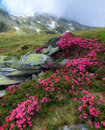 Pink rhododendron flowers in high mountains Stock Photos
