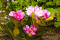Pink rhododendron in the garden spring flower adobergb dff image Stock Photo