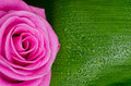 Pink rose adn green leave Royalty Free Stock Photo