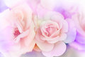 Pink rose background Royalty Free Stock Photo