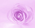 Pink rose background flower stock photos mothers day or valentines card magenta Royalty Free Stock Images