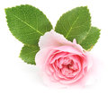 Pink rose beautiful on a white background Stock Image