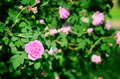 Pink rose blooming in garden Stock Photography