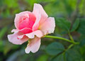 Pink rose blooming in a green garden background Stock Images