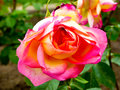 Pink Rose Blooming