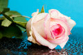 Pink rose on blue Stock Photos