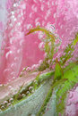 Pink rose bubble leaf Royalty Free Stock Photo