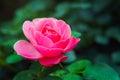 Pink Rose Bud closeup.