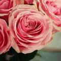 Pink Rose Close-up.