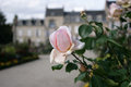 Pink rose detail