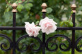 Pink rose in drops of rain is on the fence forged Stock Photography