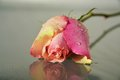 Pink rose with drops of water Royalty Free Stock Photo