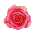 Pink rose flower Royalty Free Stock Photography