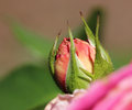 Pink rose flower bud Royalty Free Stock Photo