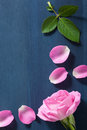 Pink rose flower over dark blue background Royalty Free Stock Photo