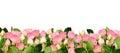 Pink rose flowers border Royalty Free Stock Photo