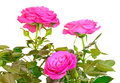 Pink rose flowers isolated on white background Stock Photos