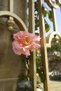Pink rose in full bloom on a gold colour gate in the sunshine Royalty Free Stock Photo