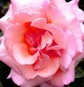 Pink rose in garden Royalty Free Stock Photo