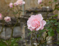 Pink rose in graveyard in bibury blossom st mary parish church cotswold or cotswolds district Stock Images