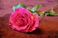 A pink rose lies on a brown carpet Royalty Free Stock Photo