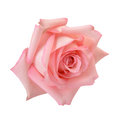 Pink rose macro delicate isolated on white clipping path included Royalty Free Stock Photos