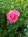 Pink rose in the morning sun still red by dew drops on the leaves. Royalty Free Stock Photo