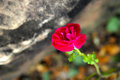 Pink rose in the nature Royalty Free Stock Photography