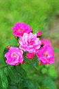 Pink rose in the nature Royalty Free Stock Photos