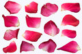 Pink Rose petal set isolate on white background