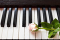 Pink rose on piano keyboard. Royalty Free Stock Photo