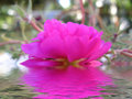 Pink rose reflected in water Royalty Free Stock Photo