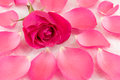 Pink rose on rose petals and bath salt Royalty Free Stock Photo