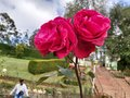 Pink Rose at RoseGarden in India Royalty Free Stock Photo
