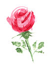 Pink rose with stem watercolor image of Stock Photography