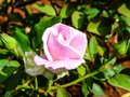THE PINK ROSE... ABOUT TO BLOOM Royalty Free Stock Photo