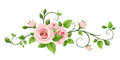 Pink rose vine. Vector illustration.
