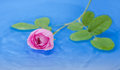 Pink rose in water Royalty Free Stock Photo