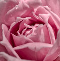Pink rose with water drop with vintage filter macro of Royalty Free Stock Images