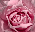 Pink rose with water drop with vintage filter macro of Stock Photos