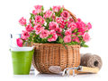 Pink rose in wicker basket with garden tool on white background Royalty Free Stock Image