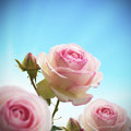 Pink rosebush or rose tree Royalty Free Stock Photo