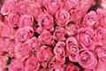 Pink roses background of in bloom Stock Photo