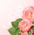 Pink roses background with delicate Royalty Free Stock Image