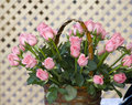 Pink roses in basket Royalty Free Stock Images