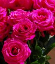 Pink roses beautifully blossomed flower Royalty Free Stock Images