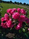 pink roses bloom in summer with one of the gardens of Saint Petersburg