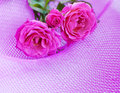 Pink roses with in a corner border on a net background Stock Images