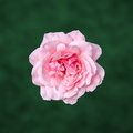 Pink roses flower with green degradee texture background frame close up Royalty Free Stock Photos